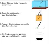in vitro Pflanzenkultivierung