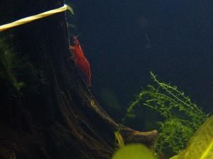 Sakura Red A+ Garnele