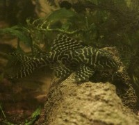 L66 King Tiger Pleco
